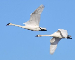 Snow white trumpeter swans against a perfect blue sky on the first day of Spring