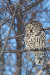 A Barred Owl resting in broad daylight