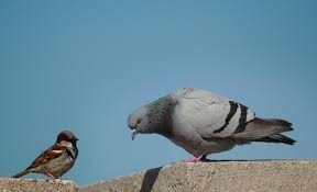 The English sparrow (house sparrow) and Rock dove  (pigeon) are the most common bords around the world