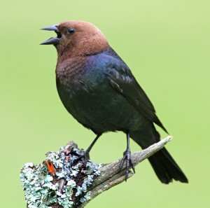 The Brown-headed Cowbird used to follow the bison herds
