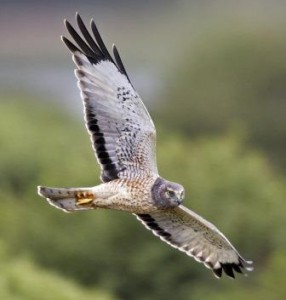 The Northern Harrier glides on outstretched wings as it searches for its prey