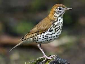 The Wood Thrush - Magical music in the forest