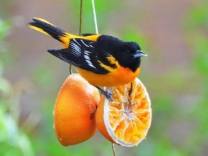 The beautiful Baltimore Oriole is a welcome sight each spring
