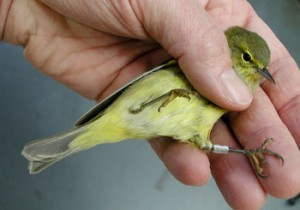 Banding birds is one way of studying their lives