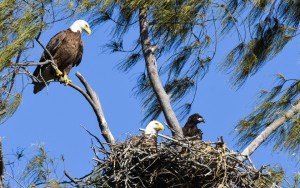 In this eagle nest you can see the two adults and one of the nearly fully grown young