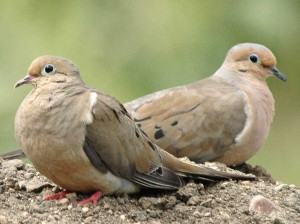 Mourning Doves are so named for the mournful sound of their cooing.