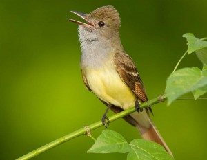The Great Crested Flycatcher will often perch on a high branch where it sings to attract a mate or annnounce his territory.