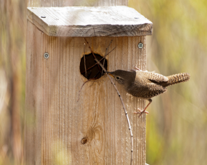 It seems impossible that a bird could manuever long twigs into the small opening in a nest box, but the House Wren does it many times over