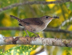 House Wrens feed primarily on insects for themselves and their young