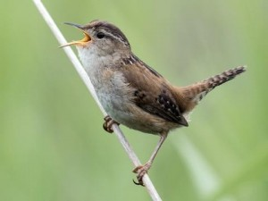 At all times of day the House Wren announces his territory with a loud and repetitive song