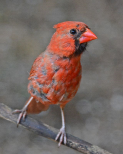 This Cardinal is molting its body feathers. Birds can look rather scruffy at this time of year.