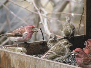 Male and female Purple Finch at platform feeder