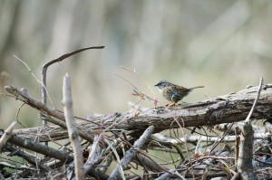 Brush piles big or small provide birds with shelter from the elements and predators