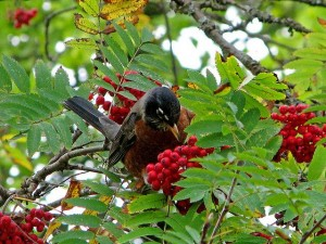 One of American Robins favorite fall foods are the berries of Mountain Ash trees.