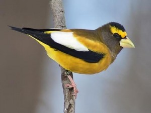 A stunning male Evening Grosbeak