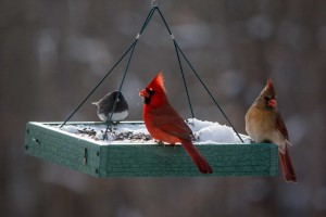 A male and female Cardinal share a feeder with a Dark-eyed Junco, just 2 species you might find on your feeders