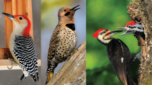Three species of woodpeckers - a Red-bellied, a Yellow-shafted Flicker and a Pileated feeding its young.
