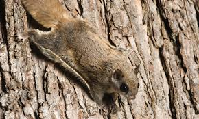 The Southern Flying Squirrel blends well with the bark of the hardwood trees where they live