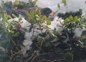 This American Robin has found some holly berries to eat