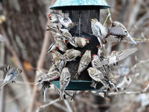 Common Redpolls flock to a feeder filled with bird seed.