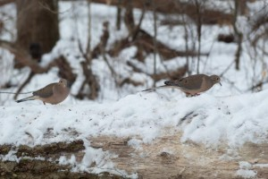 Mourning  Doves typically feed on the ground, salvaging bits of seed fallen from the feeders.