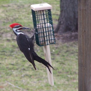 It's always a thrill to see the Pileated Woodpecker when it comes to the suet feeder.