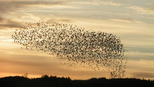 A mixed flock of blackbirds in a cluster formation - sometimes described as a murmuration.