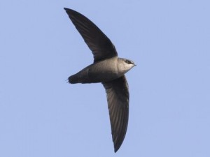 The cylindrical body shape of the Chimney Swift has given them the nickname 'Flying Cigars'