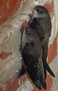 Very short legs with sharp claws on their feet allow them to cling to vertical walls.