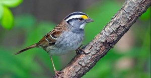 A male White-throated Sparrow