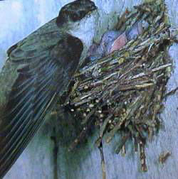 Their nests seem precariously attached to the interior walls of the chimney (or wooden nest box)