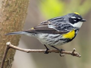 A male Yellow-rumped Warbler in breeding plumage