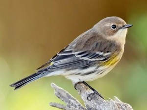 Females and immature Yellow-rumped Warblers have more subdued coloration.
