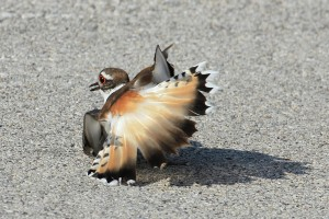 A Killdeer feigns a broken wing when its nest is threatened.