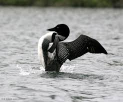 """A Common Loon demonstrates the """"penguin dance"""" which means it is feeliing very distressed, usually because its nest or young are threatened."""