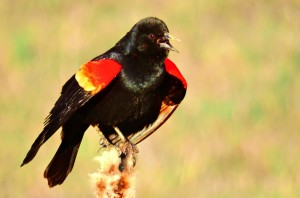 A male Red-winged Blackbird displays to announce his territory.