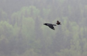 A Red-winged Blackbird chases a Crow.