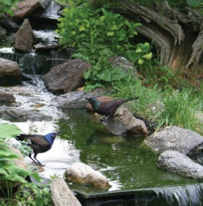 These Grackles make use of stones to reach the water in this stream.