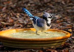 Even a small dish or pan with water will offer relief to the birds, like this Blue Jay.