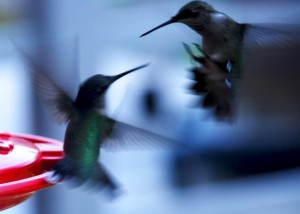 Hummingbirds are a blur of action around the feeders.