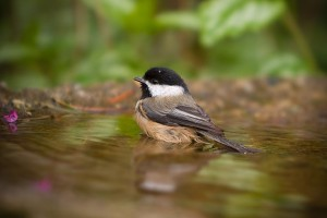A Black-capped Chickadee enjoys a quick bath on a hot summer day.