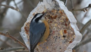 Suet is a favorite food in the winter months