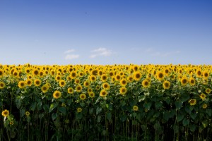 A normal, healthy field of sunflowers